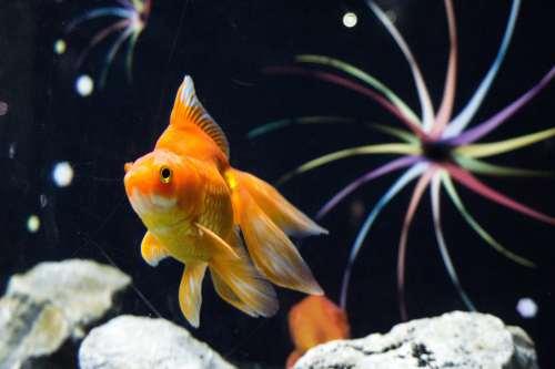 goldfish 2-min