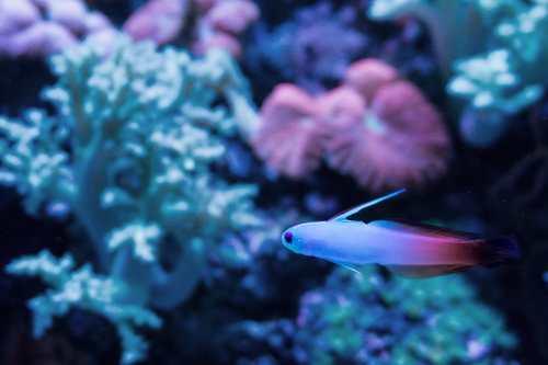 pesce blu-viola-min