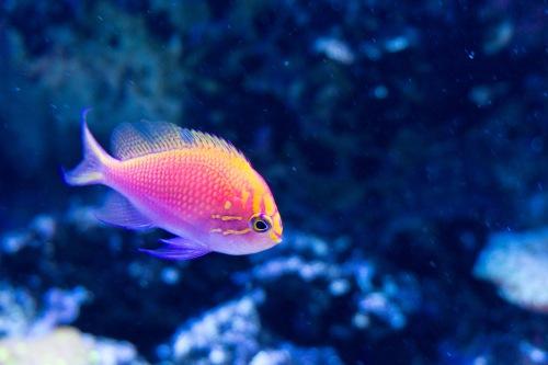 pesce giallo-viola