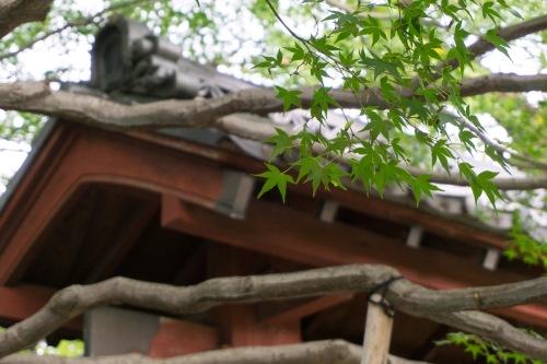 foglie momiji